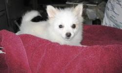 Pomeranian Puppies now For more info please give us atext only at (850) 898-2539