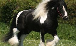 Amazing gypsy filly. Heavy hair, tail dragging the ground. Has shown in halter, took grand champion filly at 2011 LA county draft show. Always in the ribbons. Studding mover, would make a great dressage prospect. Out of Lenny horse lines. Great feet,